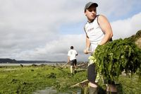 756053_employees-clear-masses-of-seaweed-from-the-french-coastline-at-saint-michel-en-greve-northern-brittany