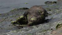 157783_un-cadavre-de-sanglier-a-l-embouchure-de-l-estuaire-du-gouessant-dans-les-cotes-d-armor-le-27-juillet-2011
