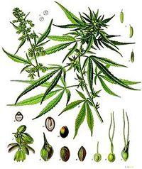 250px-Cannabis_sativa_-_Köhler–s_Medizinal-Pflanzen-026