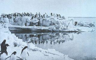 800px-Levick-Adélie-Penguins