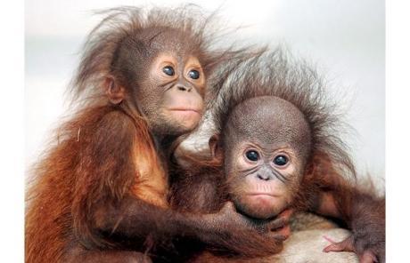 Bebes-orangs-outans_6002_w460