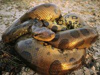 Anaconda_446_600x450